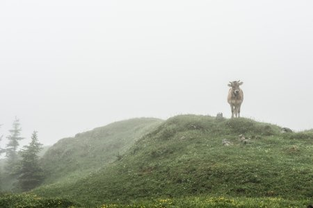 cow in the mist